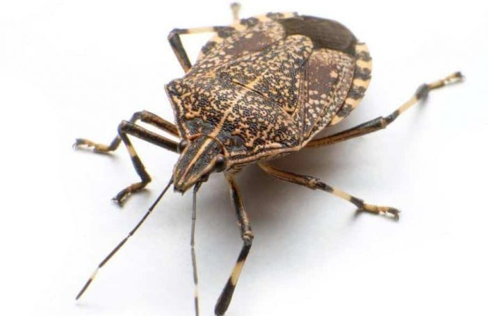 Dogs eating stink bugs safe