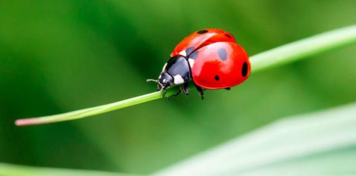 Are ladybugs poisonous to dogs