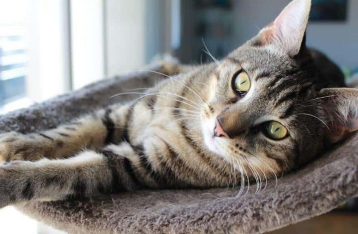 Can vitamin C help treat UTIs in cats