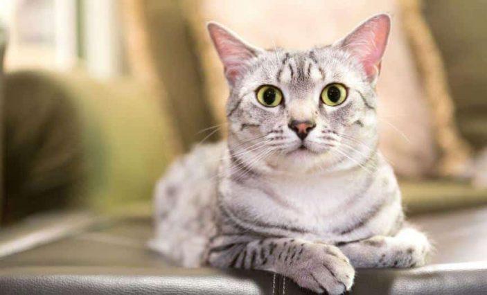 Do cats need vitamin B6 or not