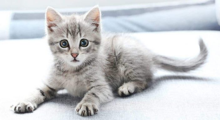 Do cats require vitamin B5 supplementation