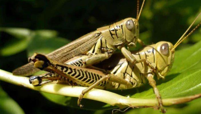 Do rabbits eat grasshoppers