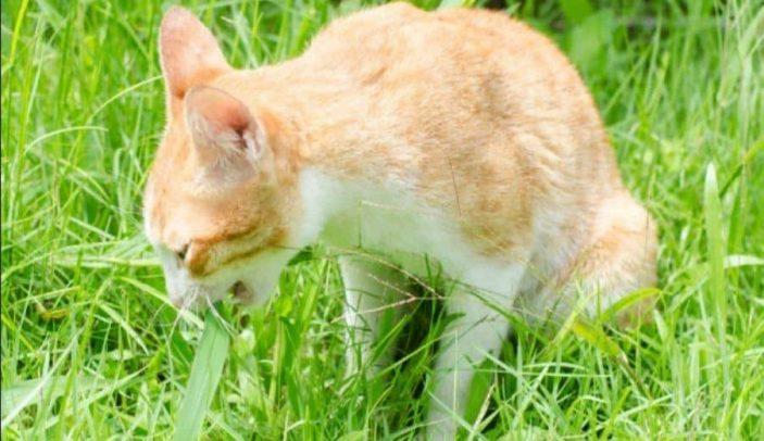Folic acid in cats
