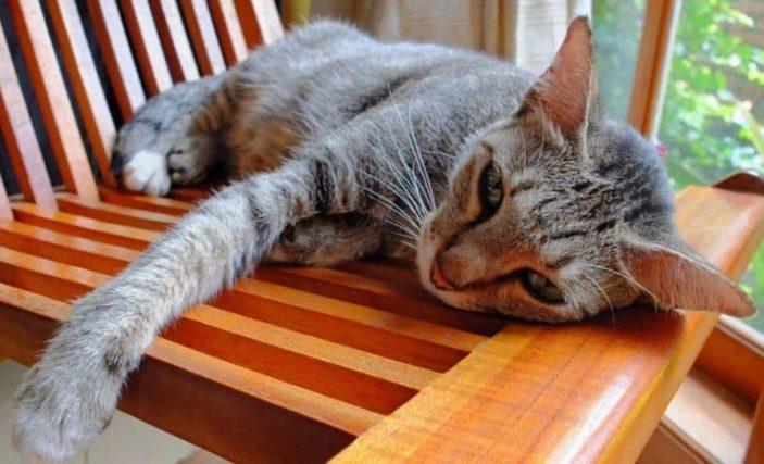 Hypervitaminosis D in cats