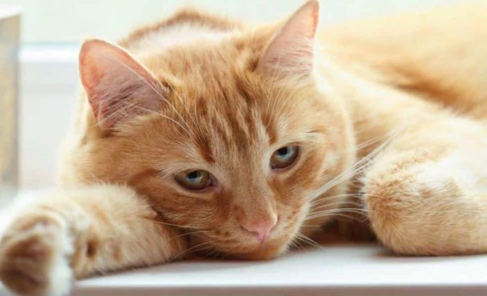 Vitamin A poisoning in cats