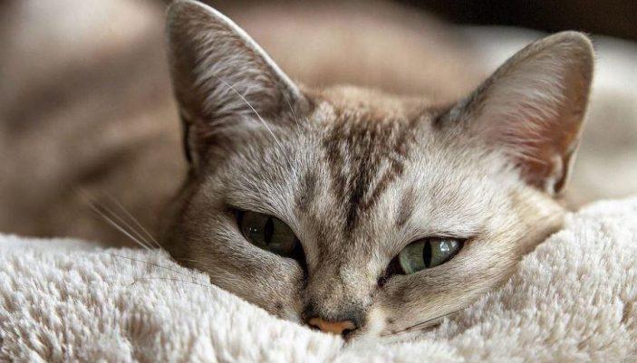 Vitamin B1 in cats
