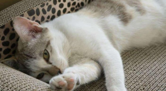 vitamin B2 for cats benefits