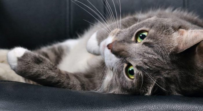 Idiophatic hypercalcemia in cats