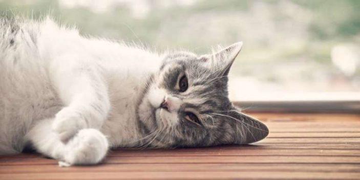 hypophosphatemia in cats