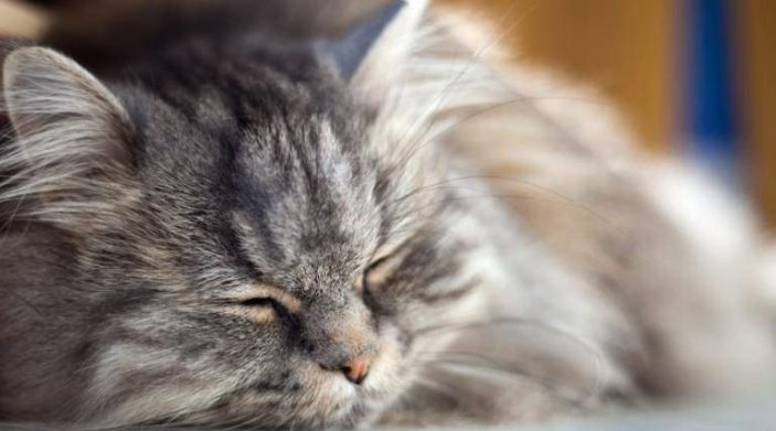 Iron toxicity in cats