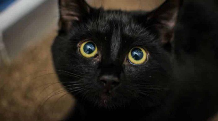 Bombay cat - black whiskers