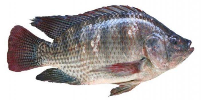 Can cats eat tilapia fish?