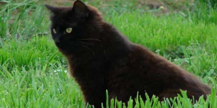 Deficiency of Phenylalanine in black cat can make their coat turn reddish brown