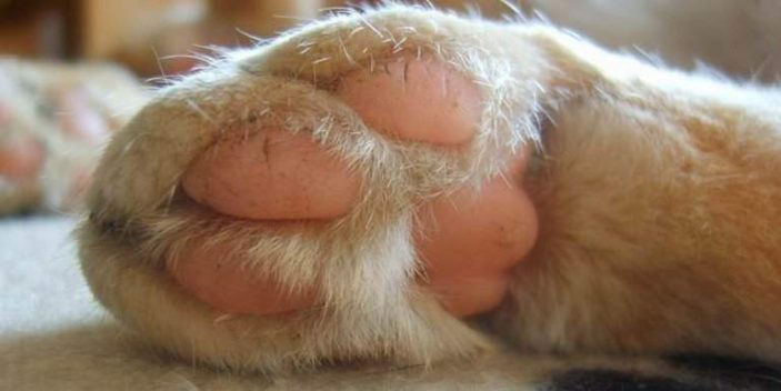 Do cats sweat including through their paw pads