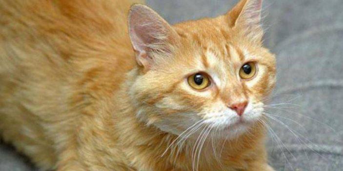 Histidine in catsin cats