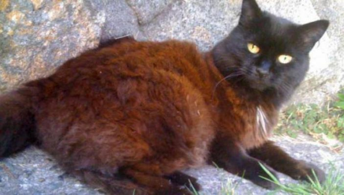 Is your black cat turning brown, it could be tyrosine deficiency