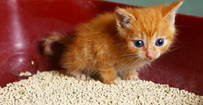 Why does your cat or kitten eat litter