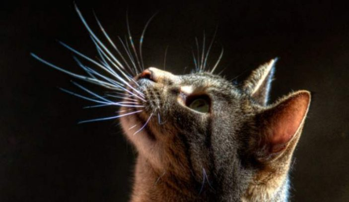 cat whiskers picture