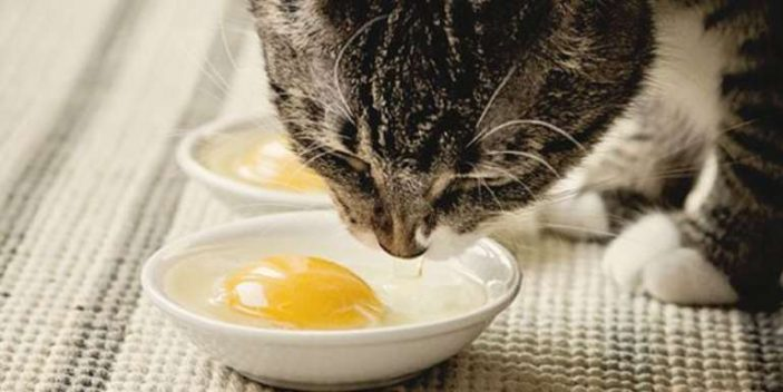 Can cats eat eggs - raw, cooked or scrambled