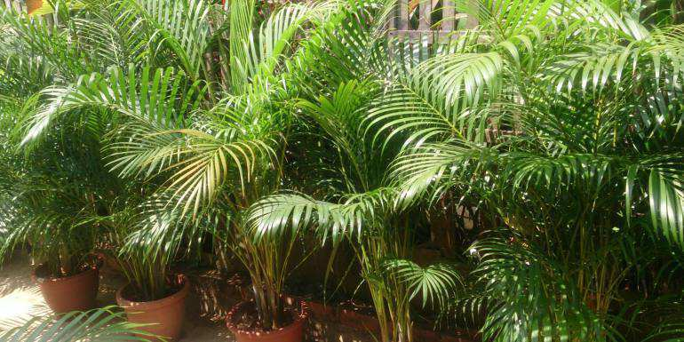 Are Areca palms poisonous to cats