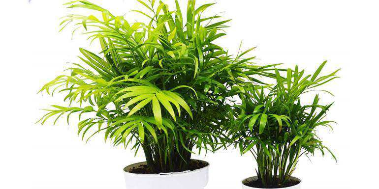 Are parlor palms safe for cats