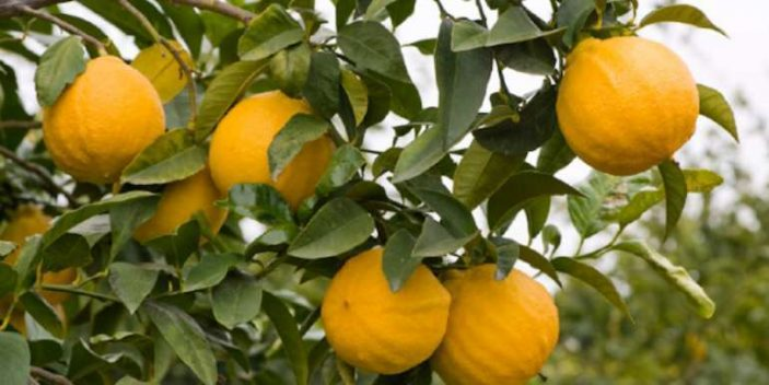 Bergamot fruit and essential oil safe for cats and dogs