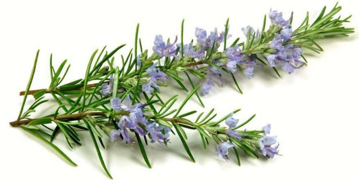 Can cats eat rosemary?