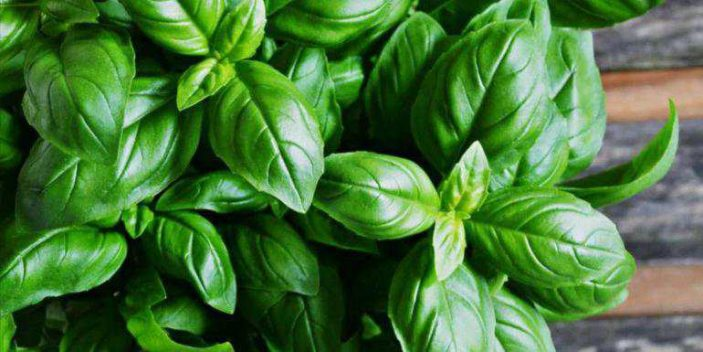 Can dogs eat basil leaves - free or dry