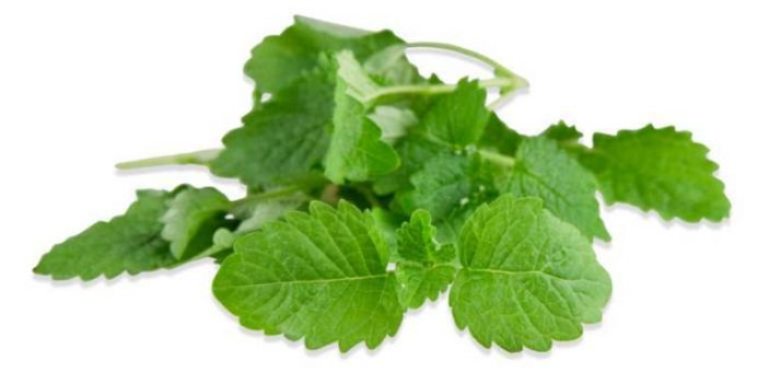 Can dogs eat lemon balm