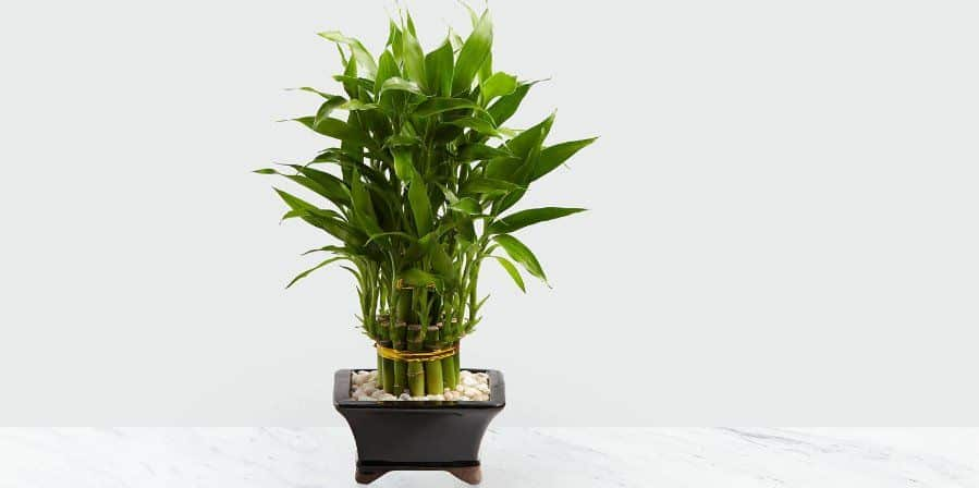 Is lucky bamboo safe for cats