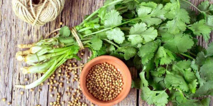 Is coriander safe for dogs