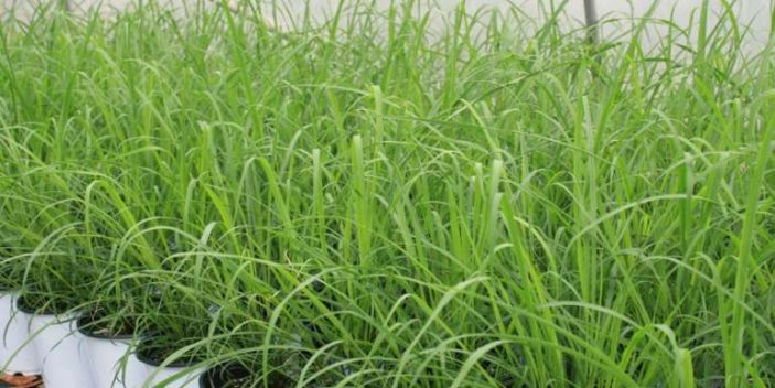 Is lemongrass safe for cats