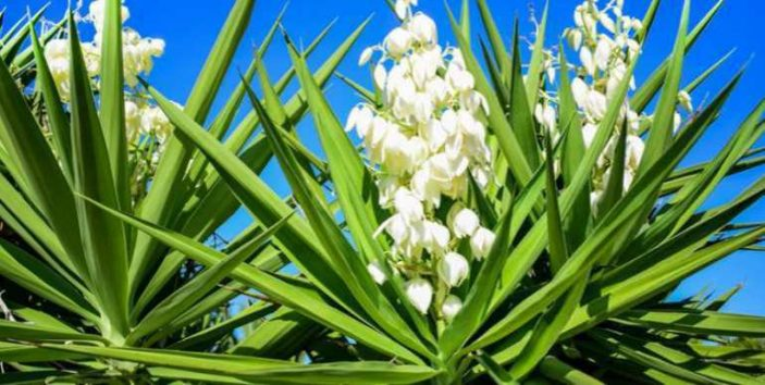Is yucca poisonous to cats and dogs