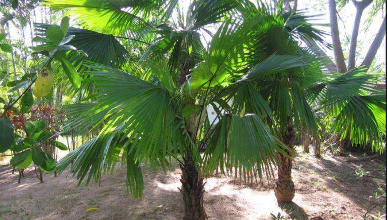 Livistona rotundifolia palm