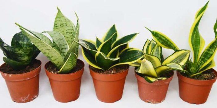 Snake plant varieties
