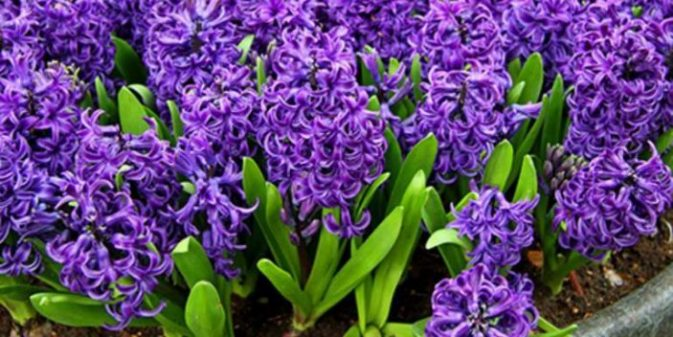 Can dogs eat hyacinth