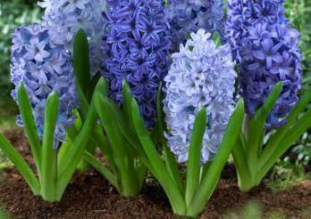 Is hyacinth toxic to cats