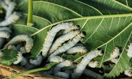 15-20 Live Silkworms - Ships and Sold by DBDPet