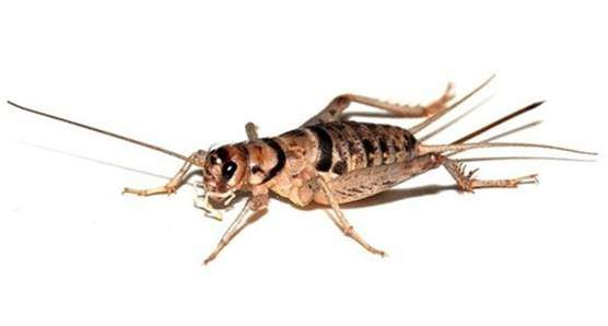Banded or tropical house cricket