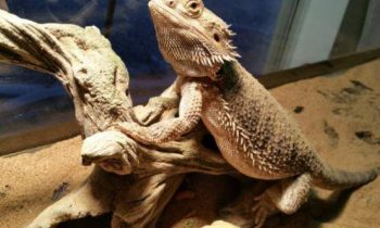 Best Bearded Dragon Basking Rocks and Platforms