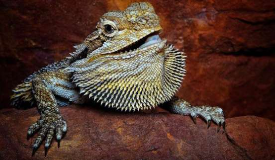Bearded dragon changing color