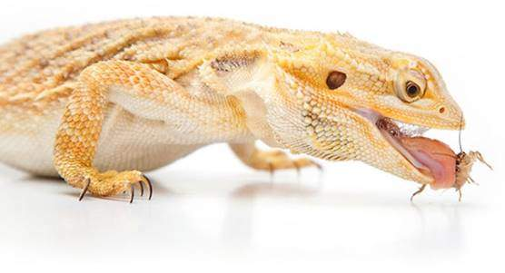 Bearded dragon foods and diet