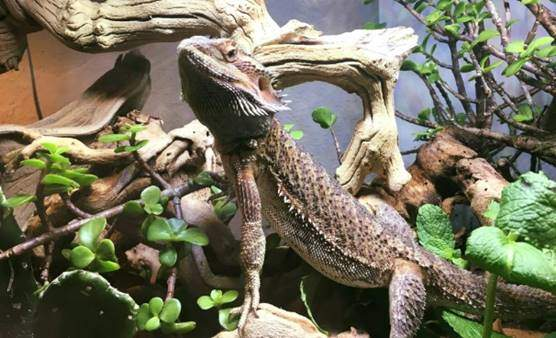 Bearded dragon safe and unsafe plants and flowers