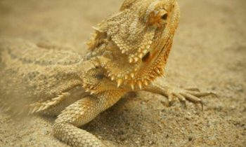 Best Bearded Dragon Substrate, Bedding, or Flooring