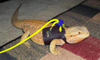 Best Bearded Dragon Harness Leash, or Lead and Collar