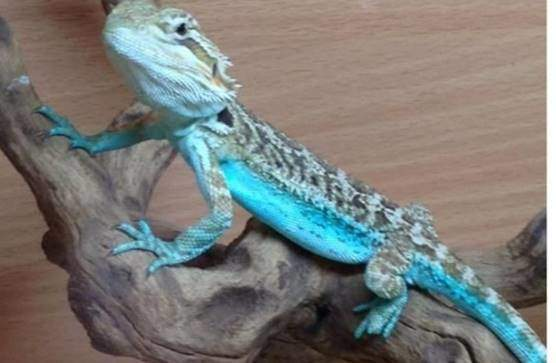 Blue flame bearded dragon