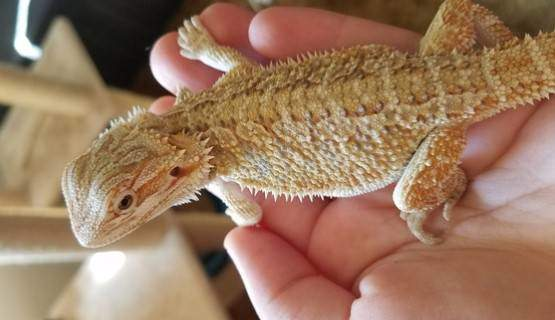 Buying a bearded dragon