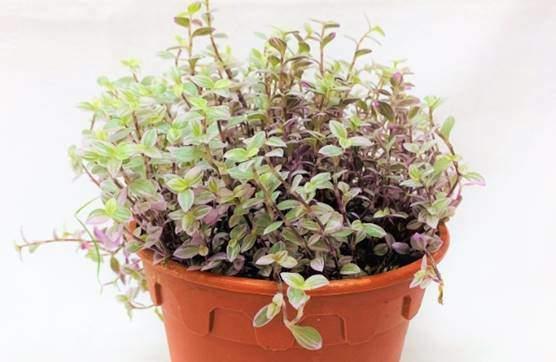 Callisia repens plant