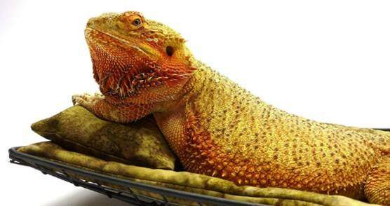 Chaise Lounge for Bearded Dragons