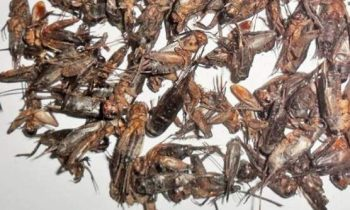 Best Dried and Freeze-Dried Crickets to Buy
